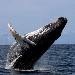 Is the Mt. Gox 'Bitcoin Whale' Gearing Up for Another $170M Selloff?