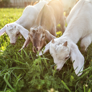 Trio of Bitcoin Tokens Lures DeFi Yield Farmers to New Pastures