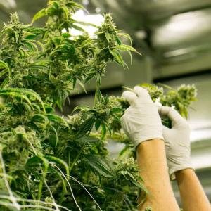 Empresa de Uruguay se une a Aeternity para rastrear comercio de marihuana