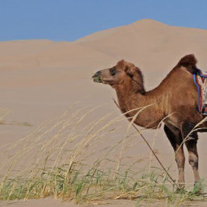 Cardano Creator Charles Hoskinson's Chat With a Mongolian Camel Herder About Bitcoin