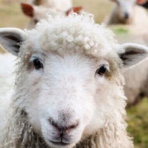 Czech Engineer Lets Users Feed Sheep With Bitcoin