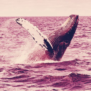 Number of Bitcoin Whales Hits All-time High