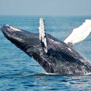 Bitcoin (BTC) Whale Leaves Twitter, Reappears on Bitfinex Pulse