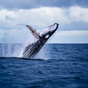 More Whales Are Hoarding Bitcoin After Accumulating During Bear Market