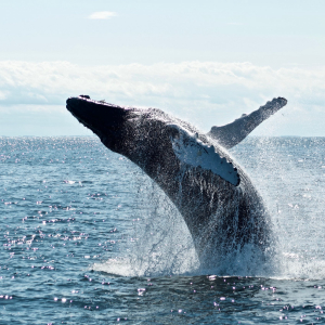 This Bitcoin Whale Trend Suggests a Serious Selloff Could be Imminent